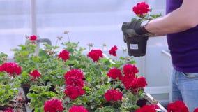 Leutearbeit im Gewächshaus Leute interessieren sich für Pelargonien im Gewächshaus Gro?es modernes Gew?chshaus stock video