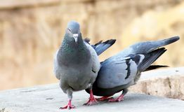 ?levage indien gris de couples de tougater d'amour de pigeon de remorquage photographie stock libre de droits
