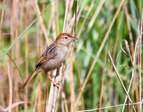 Levaillant's Cisticola Royalty Free Stock Photo