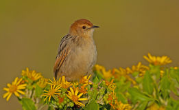 Levaillant's Cisticola Stock Photography