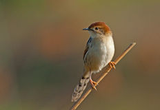 Levaillant's Cisticola Royalty Free Stock Photos