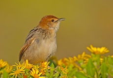 Levaillant's Cisticola Stock Photo