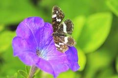 Levana de Araschnia en las flores de la petunia Foto de archivo libre de regalías