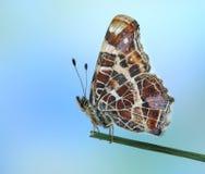 Levana van Araschnia Royalty-vrije Stock Foto's