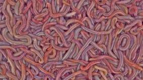 Levande bloodworms Royaltyfri Bild