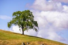 Levande ekQuercusagrifolia upp på en kulle; bakgrund för molnig himmel; Södra San Francisco Bay område, San Jose, Kalifornien arkivfoto