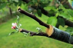 Levande klipp på att inympa äppleträdet med växande sidor och flo arkivbilder