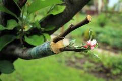 Levande klipp på att inympa äppleträdet med växande sidor och flo arkivfoton