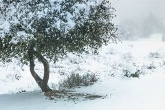 Levande kustek, sund kust- vintergrön ek som täckas i snö på en kall frostdag Royaltyfria Bilder