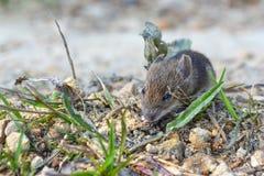 Levande lös mus på jordningen, på banan nära huset royaltyfri bild