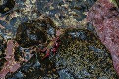 Levande lightfootkrabba i naturlig miljö Royaltyfria Foton