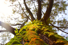 Levande mossa på en trädstam Arkivfoto
