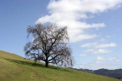 Levande Oak Arkivbilder