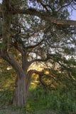 Levande OakTree för solnedgång Fotografering för Bildbyråer