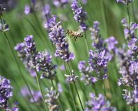 Lavender and bee Royalty Free Stock Photos