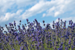 Levander bush with cloudy sky. Levander bush and blue sky with clouds Royalty Free Stock Photo