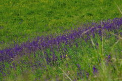 Levander. Detail of beautiful lavender fields Stock Photo