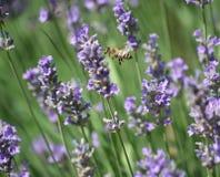Levander y abeja Fotos de archivo libres de regalías