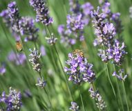 Levander y abejas Foto de archivo