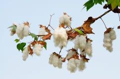 Free Levant Cotton Gossypium Herbaceum Royalty Free Stock Photos - 184024188