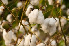 Levant Cotton in Guatemlaa. Gossypiumherbaceum. stock images