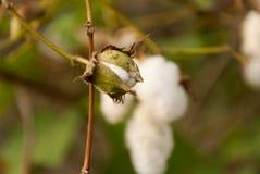 Levant Cotton in Guatemlaa. Gossypiumherbaceum. stock photos
