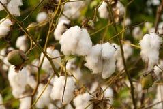 Levant Cotton in Guatemlaa. Gossypiumherbaceum. royalty free stock photos