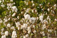 Levant Cotton in Guatemlaa. Gossypiumherbaceum. royalty free stock image