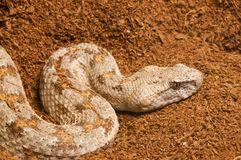 Levant or Lebentine Viper Stock Photo