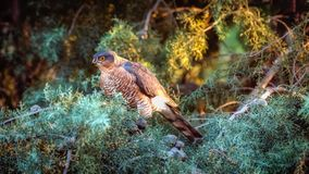 Levant Sparrowhawk. A Levant sparrowhawk on a lookout while resting on a pine tree stock photo