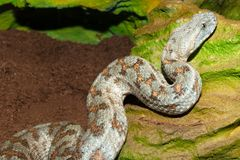 Levant Viper Royalty Free Stock Photo