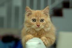 Levantamento alaranjado do gatinho Fotos de Stock Royalty Free