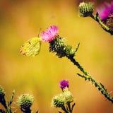 Levantamento da borboleta fotografia de stock