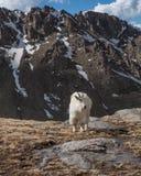 Levantamento da cabra de montanha Imagem de Stock