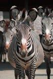 Levantamento das zebras Fotografia de Stock Royalty Free