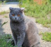 Levantamento de orelhas caídas britânico do gato Imagens de Stock Royalty Free