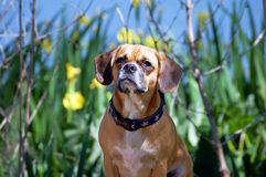 Levantamento do cão de Puggle Fotos de Stock