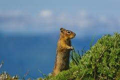 Levantamento do esquilo imagem de stock
