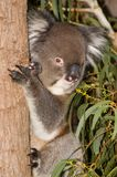 Levantamento do Koala Fotografia de Stock Royalty Free