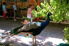 Levantamento do pássaro do pavão fotografia de stock