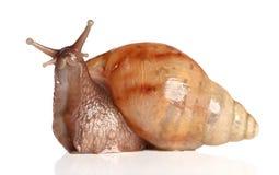 Levantamento grande do caracol Fotografia de Stock