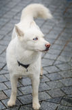 Levantamento ronco branco bonito do cão da raça Fotos de Stock