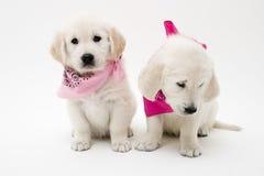 Levantando filhotes de cachorro Imagens de Stock