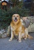 Levantando o cão Fotografia de Stock Royalty Free