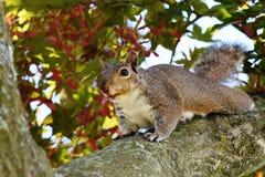 Levantando o esquilo Imagem de Stock Royalty Free