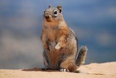 Levantando o esquilo Foto de Stock Royalty Free