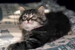 Levantando o gatinho Fotografia de Stock