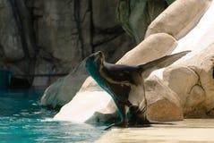 Levantando o leão de mar Fotos de Stock