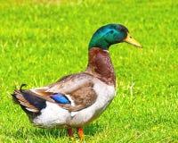Levantando o macho do pato selvagem Imagens de Stock Royalty Free