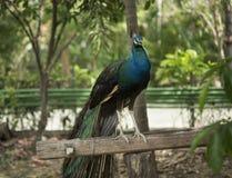 Levantando o pavão no log Imagens de Stock Royalty Free